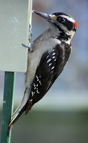 Picoides villosus ♂ (Hairy Woodpecker)