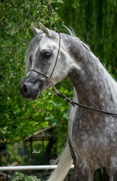 Di Salvo Arabian Horse