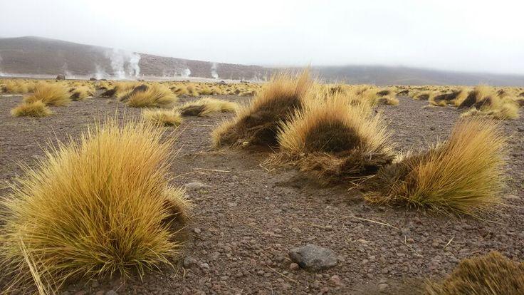 Paja brava, el tatio.  San Pedro de Atacama