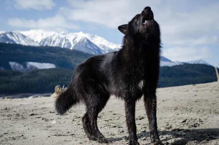 Alaskan Noble Companion Dog - though it is claimed to have no wolf in it, it is thought that this breed does in fact have wolf