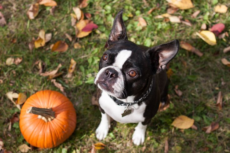 Halloween is coming, and Tidbit the Boston is ready!
