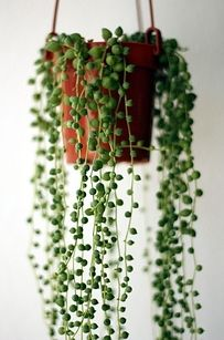 String of Pearls - A pretty damn elegant creeping succulent that sometimes flowers and sometimes doesn't. Just be sure to pot in a hanging basket so the pearls can trail down.