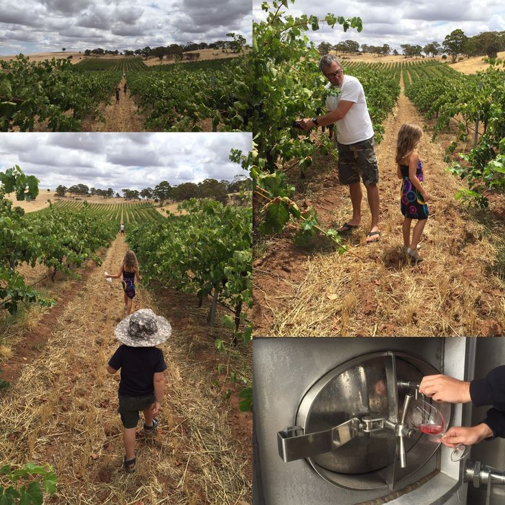 Craig Viney and his young apprentices spend some time inspecting Shiraz at our Gomersal estate.   And the result? Ruby red rosé!  #ExperienceIt #WesternBarossa #TripAdvisor