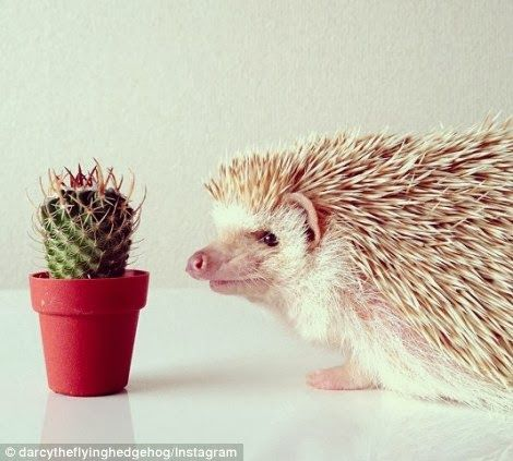 Best DARCY Images On Pinterest Instagram Baby Hedgehogs And Pets - Darcy cutest hedgehog ever