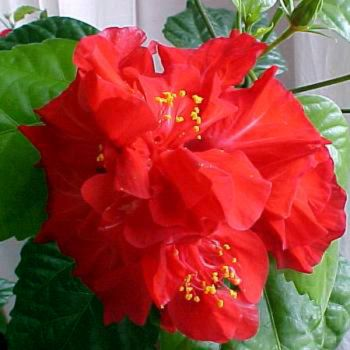 garden variety hibiscus h find this pin and more on flowering houseplants