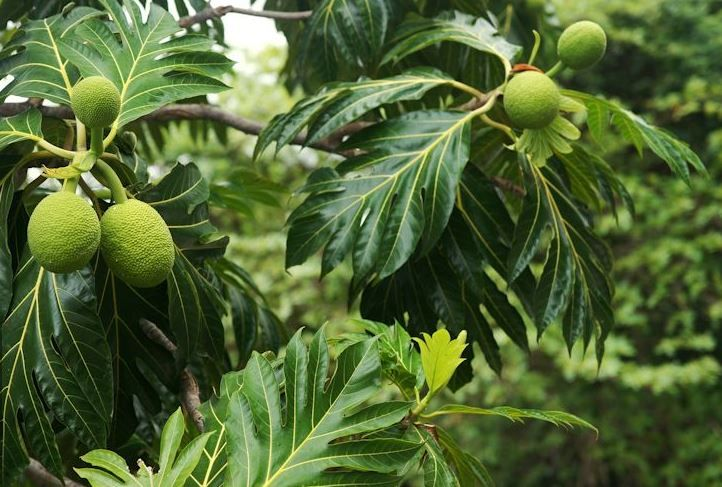 arbre-à-pain (Breadfruit)