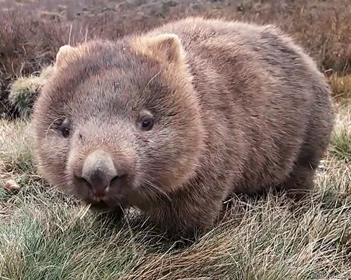 We don't see enough wombats on imgur. Here's a wombat. - GIF on Imgur