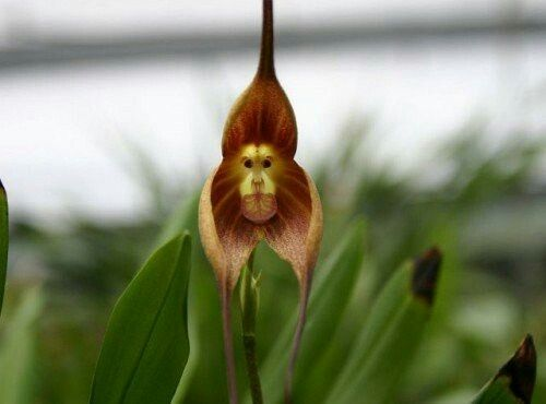 Orchidea scimmia.