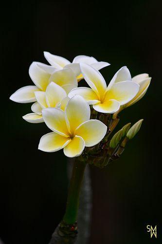 Plumeria http://flowersgifts.labellabaskets.com faragmoghaddassi@yahoo.com