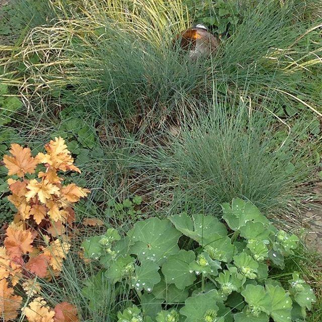 #mindfulness#achtsamkeit#blauschwingel#ziergras#heuchera#purpurglöckchen#gardening#garten#natur#nature#naturelovers#landliebe#landlust#bauerngarten#gartenglück#gartenliebe#wachstum##growth#flowers#blumen#floral#structure#life#leben#leaves#blätter#staude#gartenbeet#frauenmantel#ladysmantle