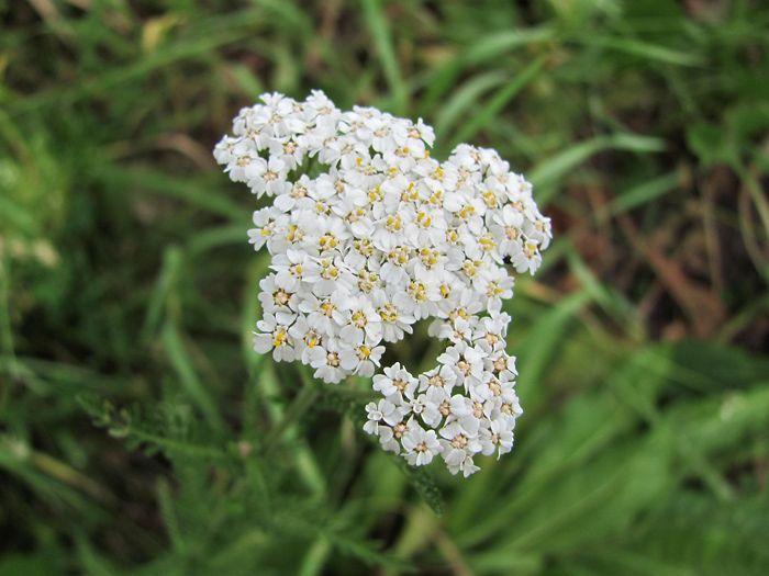 Je vytrvalá bylina, 10 cm až 80 cm vysoká z čeledi hvězdnicovitých.