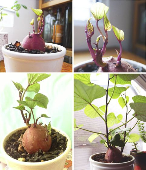 16 Foods That Will Re Grow From Kitchen Scraps: 17 Best Ideas About Sweet Potato Plant On Pinterest