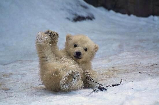 Baby Polar Bear! I'm obsessed with polar bears right now!!