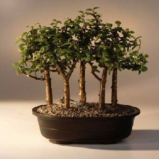 """This succulent bonsai, also known as the """"Elephant Bush"""", is native to South Africa and has pale green leaves that are almost round and about one-third the size of the common jade plant. The fleshy tr"""