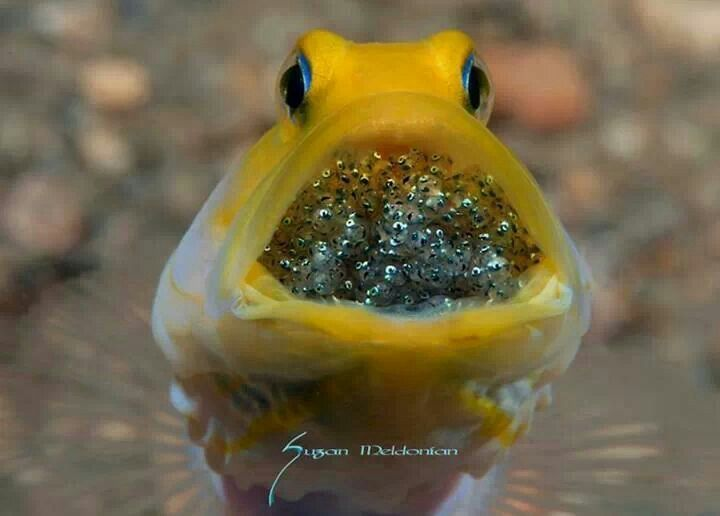 .Mouth brooding Goby. The eggs are carried in the mouth of ...