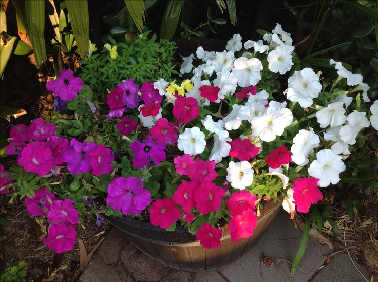Petunias giving a wonderful show