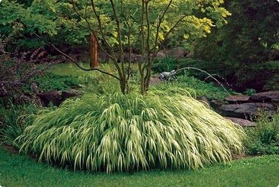 "Hmmm....Japanese Forest Grass,  love the way they have it around the base of the tree. 16"" tall to 24"" wide clumps"