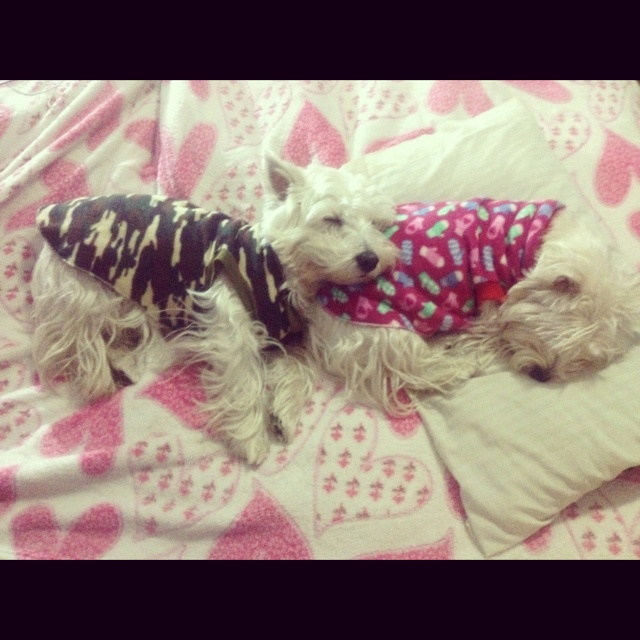 The real Westie Pillow!!!! LOL