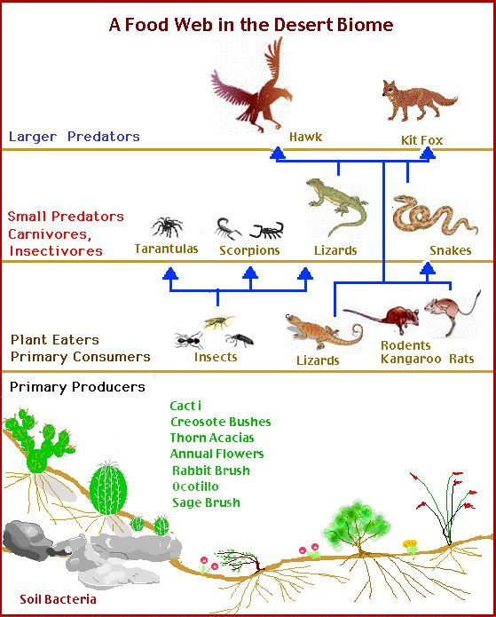 Desert Food Chain