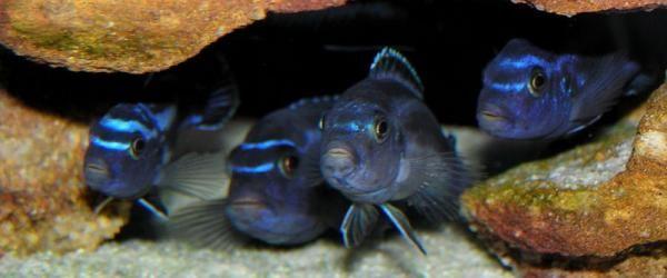 Melanochromis cyaneorhabdos - Foto di Glenn Barrett (Wikipedia.org)