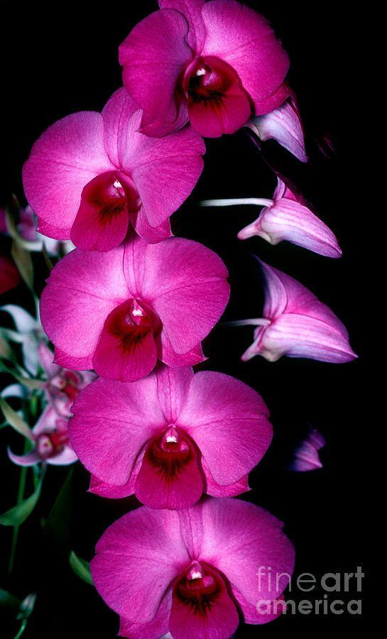 Orchid 8 Canvas Print / Canvas Art by Terry Elniski                                                                                                                                                                                 Más