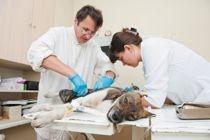 Etre secrétaire assistante vétérinaire nécessite une grande polyvalence. Vous tiendrez un rôle essentiel dans le bon fonctionnement du cabinet.