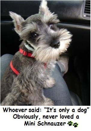 """Whoever said: """"It's only a dog"""" Obviously, never loved a Miniature Schnauzer."""