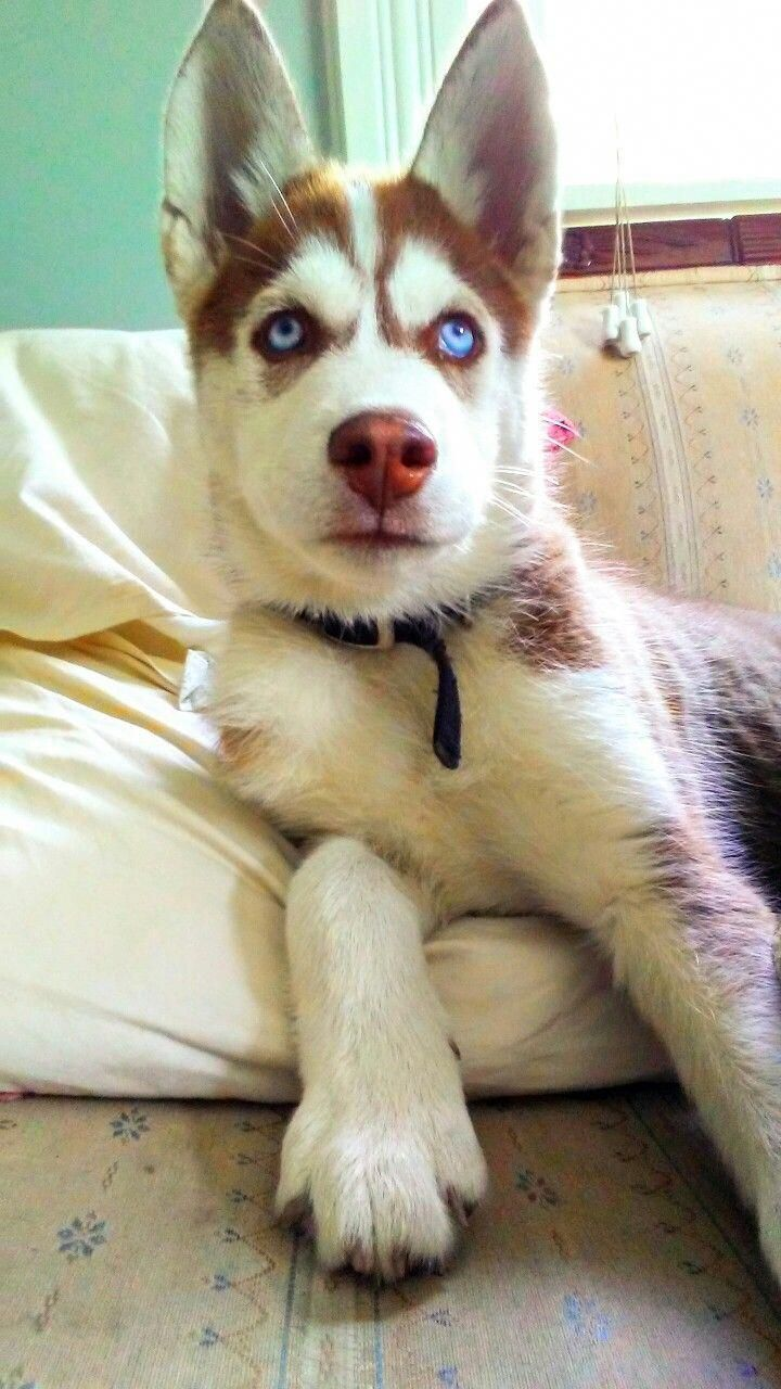 More About Bold Siberian Huskies Puppy Grooming