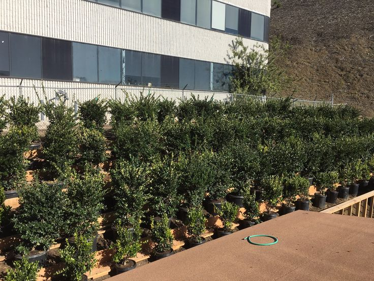 """Here are a few more pictures of Ligustrum Texanum, """"Texas Privet"""" growing at our new Nusery."""