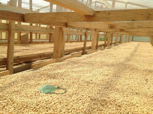 Secado del mejor café del mundo Santander Colombia  Cafe Mesa de los Santos