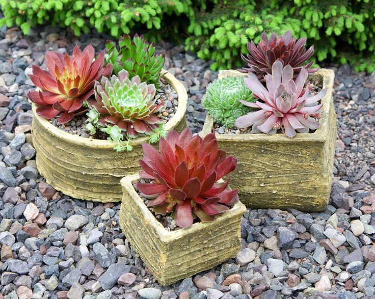 Buy Succulents Online | Shop Sempervivum, Sempervivum Arachnoideum, Sedum, Jovibarba, Jovibarba Heuffelii | Perennial Succulent Collections for Sale