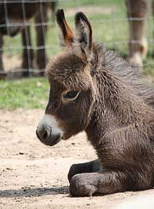 Miniature Donkey - giving some thought to this idea