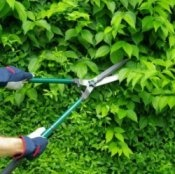 Without maintenance, most flowering shrubs eventually get overgrown and leggy or they start to lose their flower power.  As tempting as it is to yank them out and start over - don't do it! Many can be revitalized with a couple of cost saving pruning techniques.