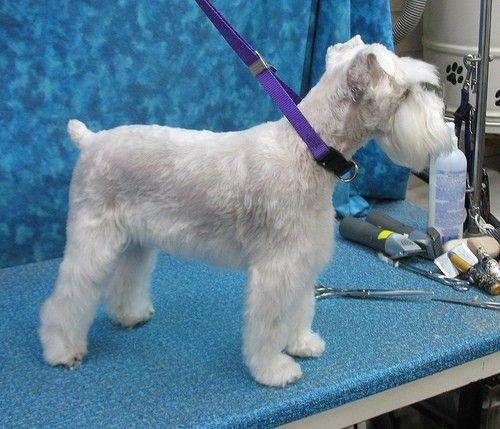 7 Festzug-Würdig Schnauzer Hund Haarschnitte //  #FestzugWürdig #Haarschnitte #Hund #Schnauzer