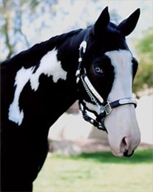Paint horse with blue eyes: Blackwhit Paintings, Paintings Horses, Stunning Blackwhit, Paintings Hors With Blue Eye, Paint Horses, Most Beautiful Hors, Dreams Hors, Black Hors With Blue Eye, Blue Eye Hors