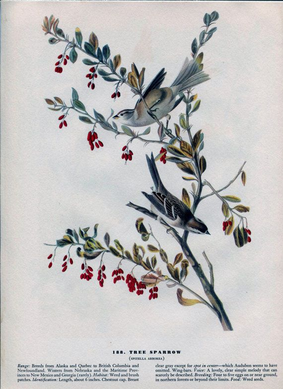 Old 1941 Antique Vintage Book JOHN JAMES AUDUBON Birds of America Bookplate of Water-color Painting Plate Tree Sparrow 188
