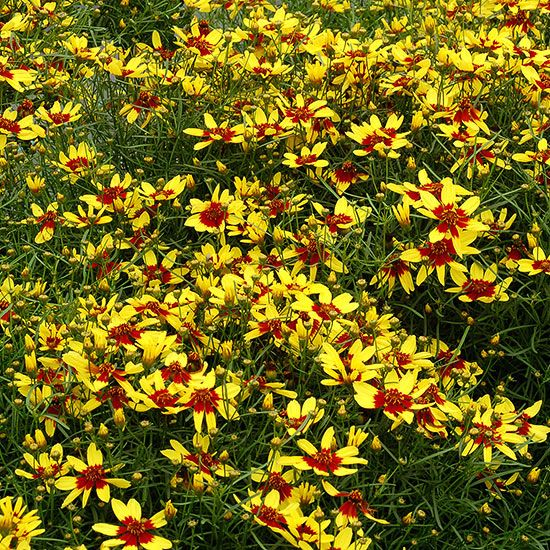 Cheer up drab spots in your landscape with 'Firefly' coreopsis. Smothered in yellow-and-red, bicolor blooms all summer long, 'Firefly' will make a delightful addition to borders and containers! http://www.bhg.com/gardening/gardening-trends/new-perennials-for-2015/?socsrc=bhgpin051415coreopsisfirefly&page=18