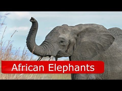 African Elephant Facts For Kids - YouTube