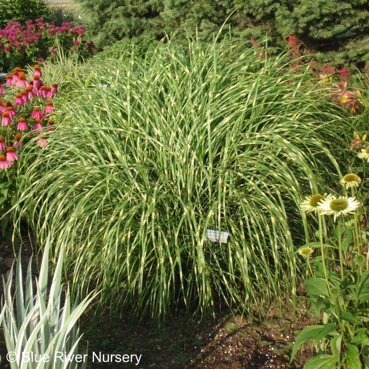 Little zebra grass yard gardening pinterest for Landscaping with zebra grass