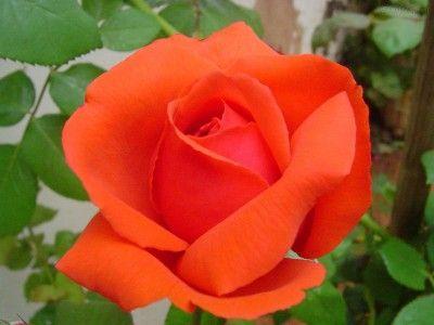 imagenes de rosas preciosas gratuitas