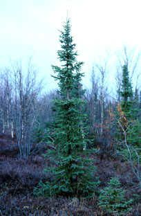 the provinces tree is the Black Spruce