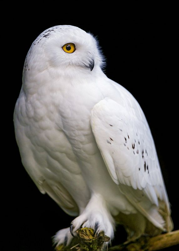 Snowy owl (male) look at those 'snowshoe' feet...........