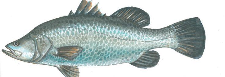 Kapj rá - Barramundi Lates Calcarifer - Ázsiai tengeri sügér