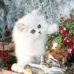 Cinderella - Silver Chinchilla Persian Kitten for SaleUltra Rare Persian Kittens For Sale – (660) 292-2222 – Located in Northern Missouri (Shipping Available)