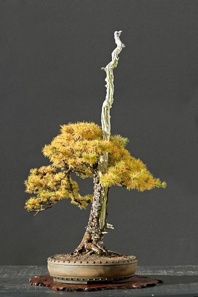~~bonsai ~ conifer | Walter Pall~~