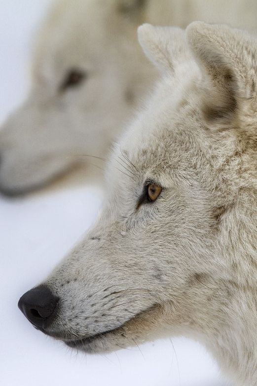441 best images about Howling at the Moon on Pinterest ...