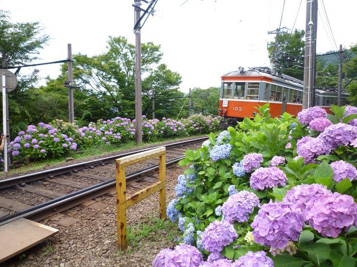 """箱根登山鉄道 """"あじさい電車"""" Hakone Tozan Railway """"Hydrangea Train"""""""