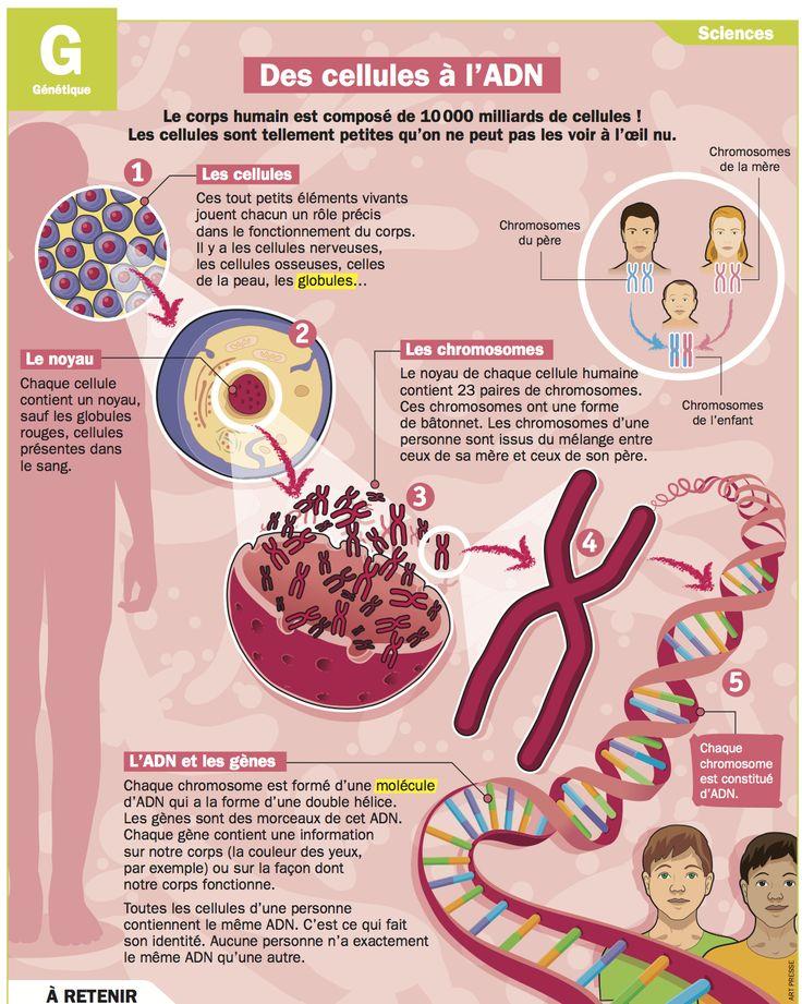 Fiche exposés : Des cellules à l'ADN