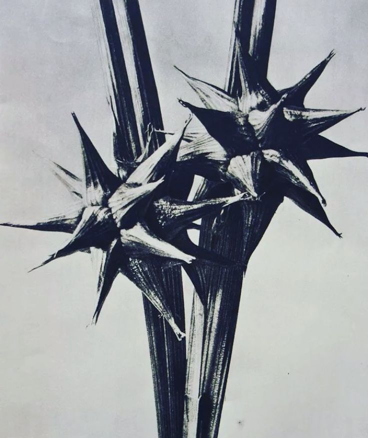 1928 Botanical study by German sculpture instructor Karl Blossfeldt (1865-1932). From portfolio Urformen der Kunst these photos were taken with a homemade camera that magnified the subject up to 30X its actual size. Printing on silver gelatin was not satisfactory for Blossfeldt as he believed that the images lost much of their detail so he used the Photogravure process; using a copper plate a light-sensitive gelatin tissue and etching. This particular print was made in 1928 and printed on…