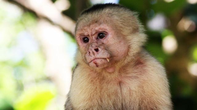 'Kapucijnapen gebruiken al honderden jaren werktuigen'   NU - Het laatste nieuws het eerst op NU.nl